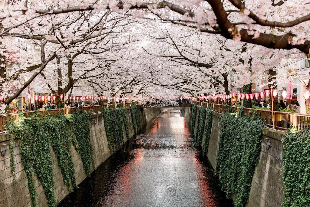 Cherry Blossoms Japan